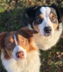 Australian Shepherds Dogs