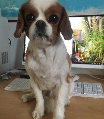 Dog Charles Spaniel