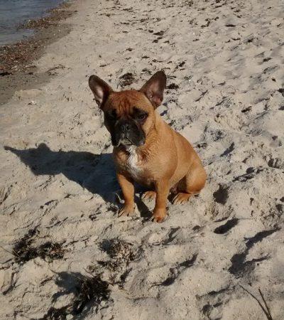 Bruni French Bulldog Officedog of the Week