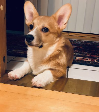 Pembroke Welsh Corgi Finland Dog of the Week FemaleOneZero