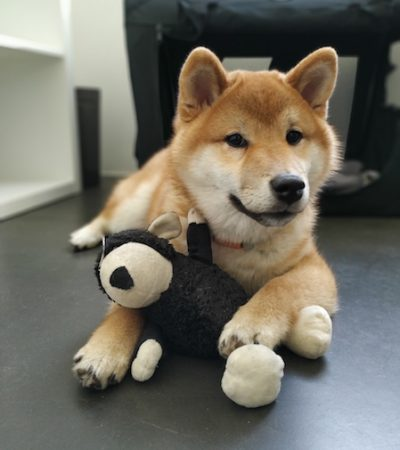 Minuki Office dog of the week Shiba