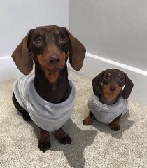 Richmond & Dora, miniature Dachshund Cambridge UK